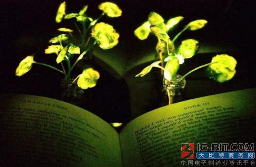 科学家再培育出夜间发光植物 未来或应用于夜间照明