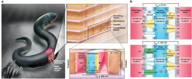 模仿电鳗,科学家设计出非硬质且不需要插入接通的超强电源