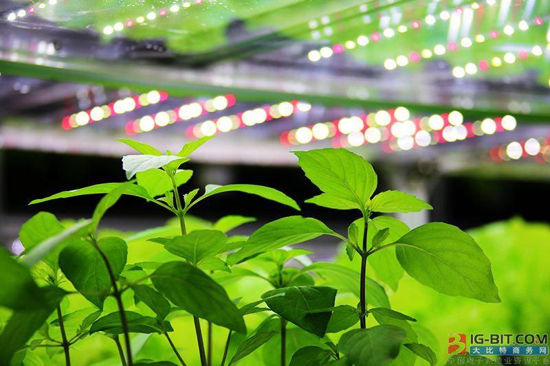 使用LED灯照明,火龙果园每年节省电费近一半