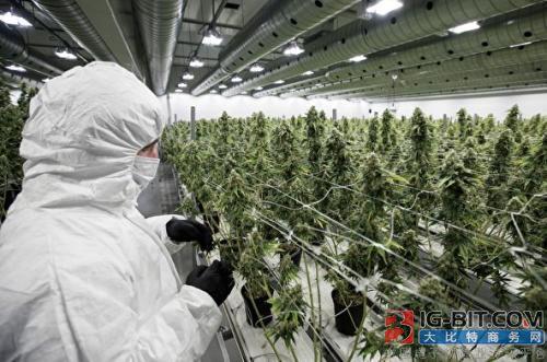 种植医用大麻,丹麦公司采用LED照明及控制系统